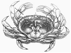 Cracking and Cooking Dungeness Crab