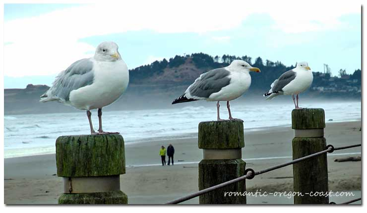 seagulls oregon coast